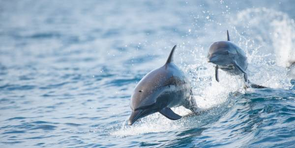 two dolphins jumping in and out of the water